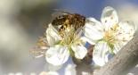 Тежкото положение на медоносната пчела