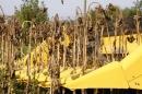 Хедер за слънчоглед FANTINI